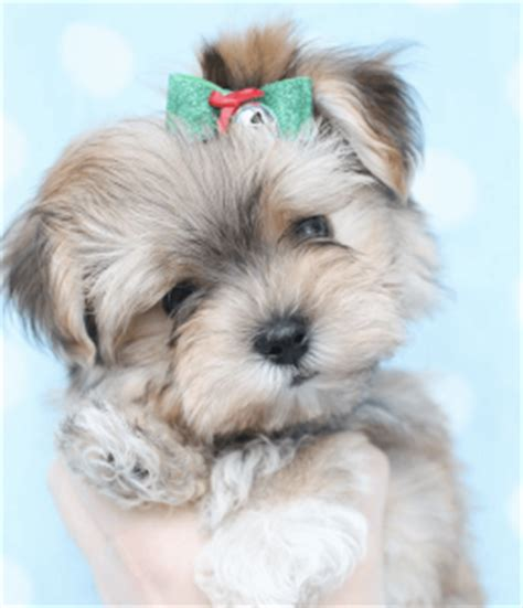 maltese puppy has wavy hair after first hhairas ir cut maltese puppy has wavy hair after first hhairas ir cut