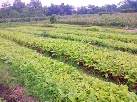 Bibit Pohon Jabon bibit agro sejahtera