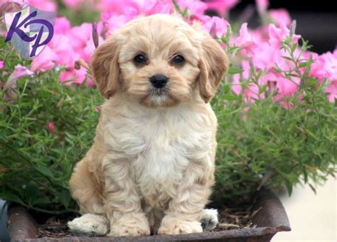 cavapoo puppies for sale in pa pin by kaitlyn deibler on cavapoo