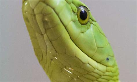 rene policistico alimentazione un peptide nel veleno mamba verde riduce i sintomi