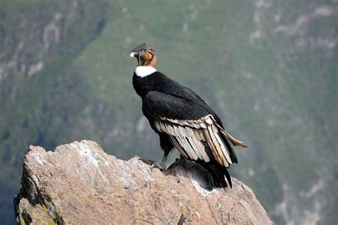 mirador condor condor adulto picture of mirador cruz del condor
