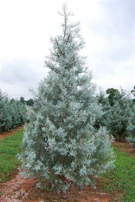 arizona blue ice cypress landscaping ideas pinterest