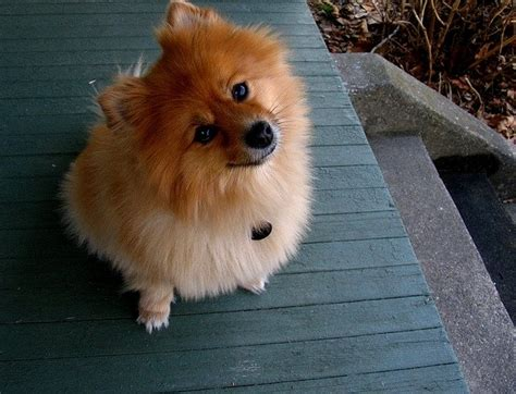 pomeranian average weight top 8 small tiny breedstop 8 small tiny breeds animals zone