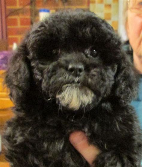 shih tzu puppies how big do they get how big do shih poos get hairstyle 2013