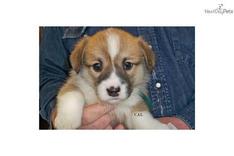 puppies for sale bozeman mt corgi for sale for 500 near bozeman montana 4d93ba65 9c61