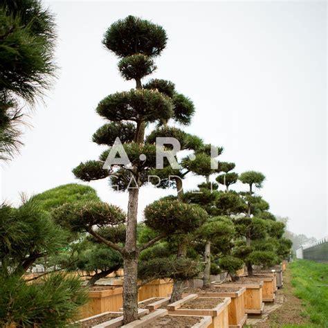 Beau Coussins Pour Chaises De Jardin #2: arbres-nuages-japonais-bonsai-geant-pinus-nigra.jpg