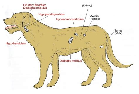 gland problems in dogs hypothyroid disease in dogs archives animal family veterinary care center