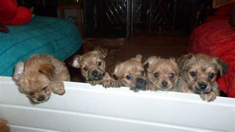 chihuahua x yorkie chihuahua x yorkie chorkies chihuahua puppy for sale in the uk to breeds picture