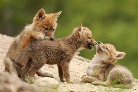 coyote images faune et flore du pays le coyote
