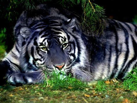 fondos de pantalla de tigre azul wallpapers de tigre azul