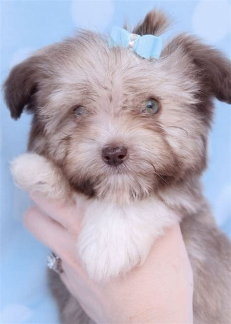 havanese puppies idaho havanese puppies for sale by teacups puppies boutique teacups puppies boutique
