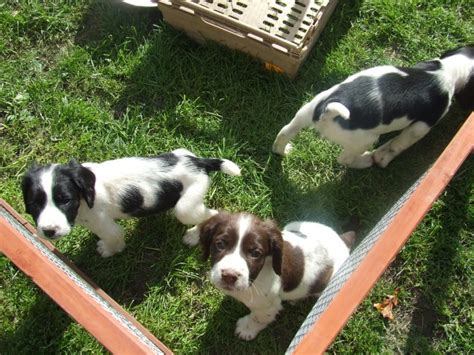 springer spaniel puppies for sale in michigan springer spaniel dogs and puppies for sale stud or adoption breeds picture