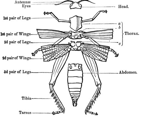insect body sections jaan s science class insects external morphology