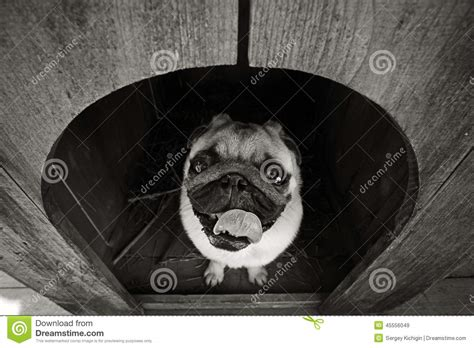pug dog house funny pug dog in the dog