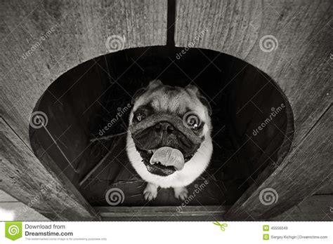 pug dog house funny pug dog in the dog