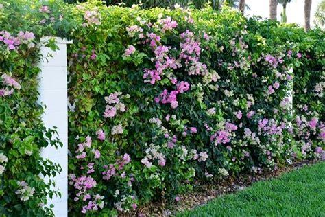 siepi da giardino fiorite siepi da confine siepi caratteristiche delle siepi da