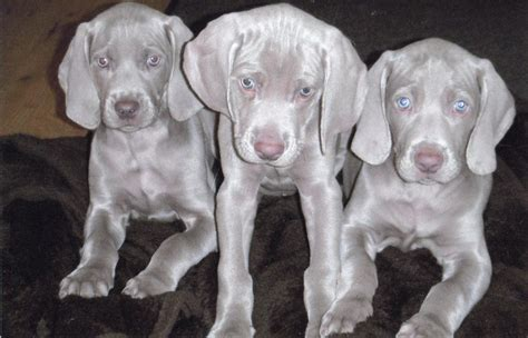 weimaraner puppies for sale weimaraner pups for sale grimsby lincolnshire pets4homes