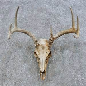Whitetail deer skull european mount for sale 14673 the taxidermy