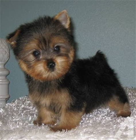 silky yorkies for sale adorable tiny silky yorkie puppy for adoption 10 weeks for sale in dade city
