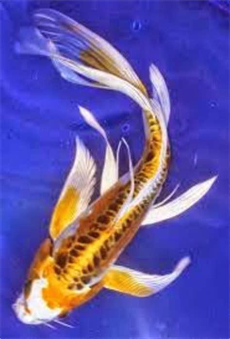 Makan Ikan Cupang Pelet ikan koi hias air tawar dan cara membudidayakan kumpulan
