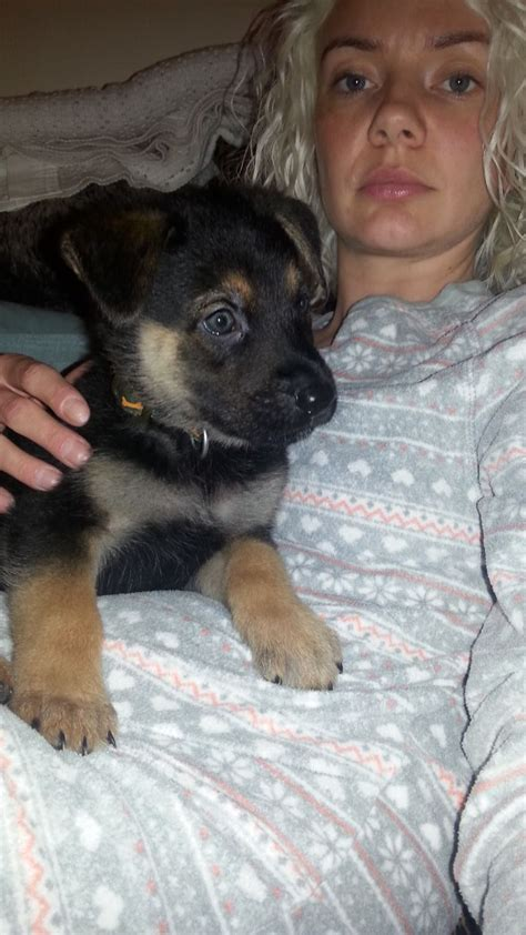 german rottweiler puppies for sale in uk german shepherd x rottweiler puppies for sale west pets4homes