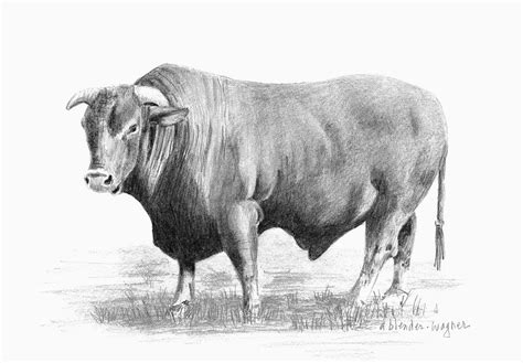 Longhorn Home Decor by Santa Gertrudis Bull Drawing By Arline Wagner
