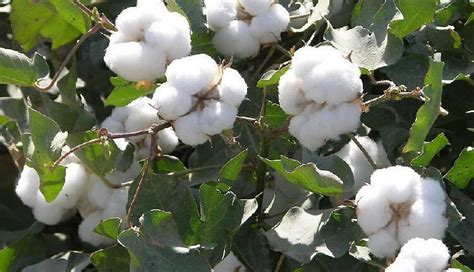 new year cotton flower 2018 2016 rushed new outdoor plants easy sementes