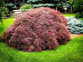 japanese maple tree dog breeds picture