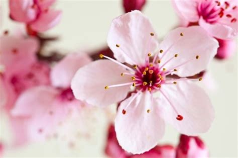 cherry blossom facts 16 interesting facts about cherries top food facts