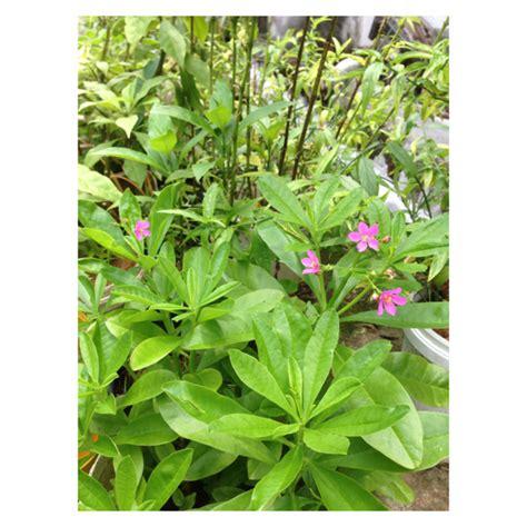 Akar Ginseng Jawa berkebun hobiku khasiat ginseng jawa atau akar som