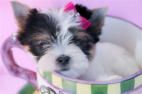 tiny tykes puppies milwaukee wi tiny tykes puppies 28 images 1000 images about shih tzu on puppys yorkie and