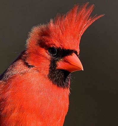 144 best images about northern cardinal on pinterest