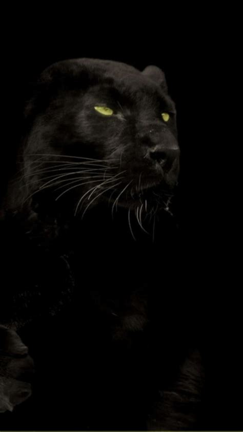 cats animals black panther wallpaper