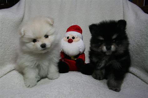 puppies jacksonville nc pets jacksonville nc free classified ads