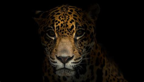 imagenes jaguar you baby jaguar information animals mom me