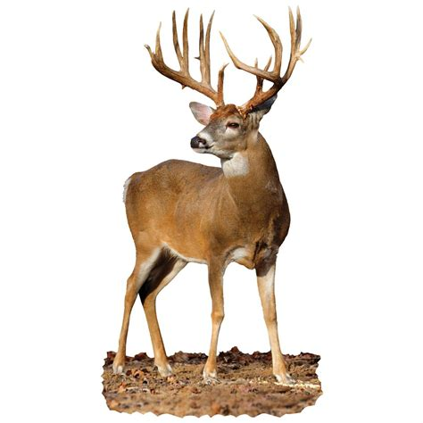 buck buck buck whitetail buck indoor wall graphic quartered to front