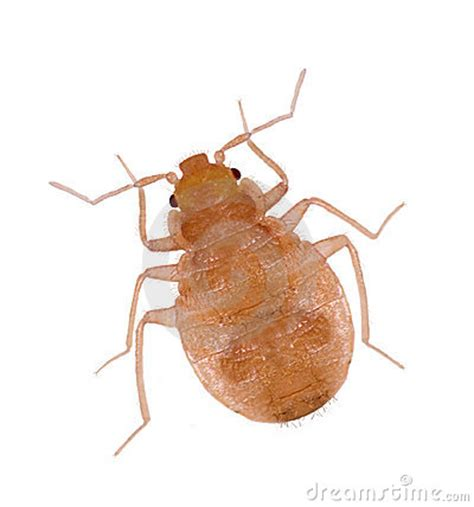white bugs in bed close up juvenile bedbugs royalty free stock photos