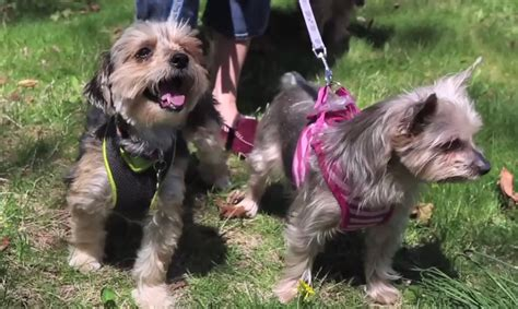 yorkie 911 rescue puppies from yorkie 911 rescue newsday