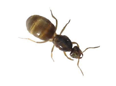 gelbe ameisen im garten gelbe ameisen rasen vor ameisen befall sch tzen einfacher