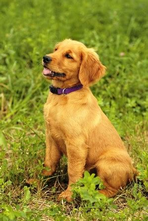 golden retriever calgary find a the labrador retriever club inc autos post