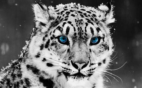 snow leopard wallpapers full hd pictures