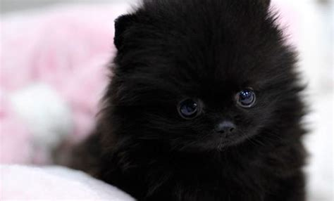 black teacup pomeranian puppies teacup pomeranian puppy cuteness teacup pomeranian teacup pomeranian
