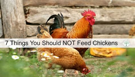 What To Feed Backyard Chickens by 173 Best Images About Backyard Chickens On