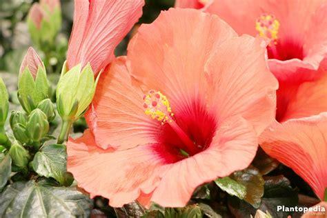 garten hibiskus schneiden hibiskus schneiden hibiskus schneiden ran an den