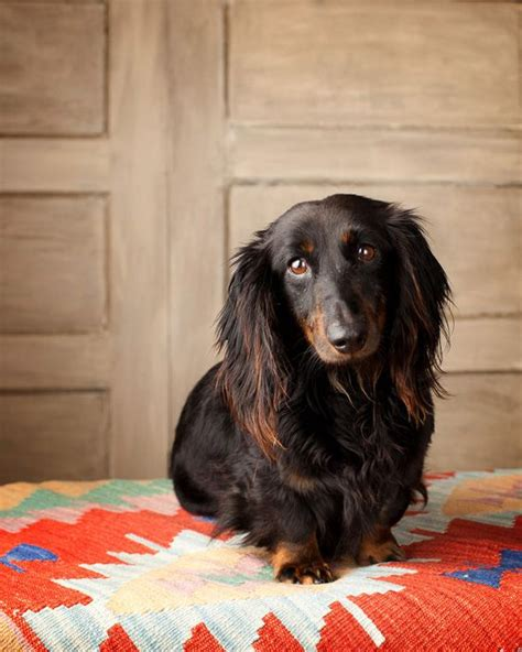 Haired Dachshund Shedding by Breeds That Look Like A Dachshund Breeds