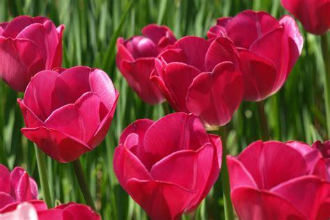 imagenes de flores tulipanes image gallery tulipanes rosas