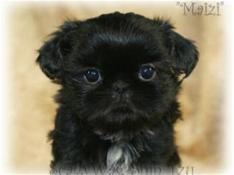 all black shih tzu for sale 25 best ideas about shih tzu breeders on shih tzu for sale shih tzu