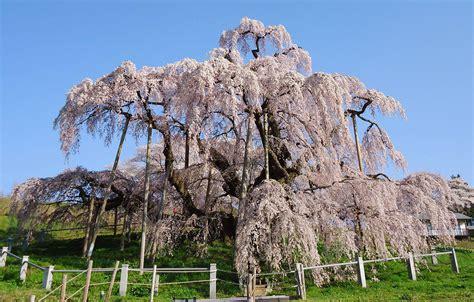 usuzumi zakura one of the 3 great cherry trees of japan