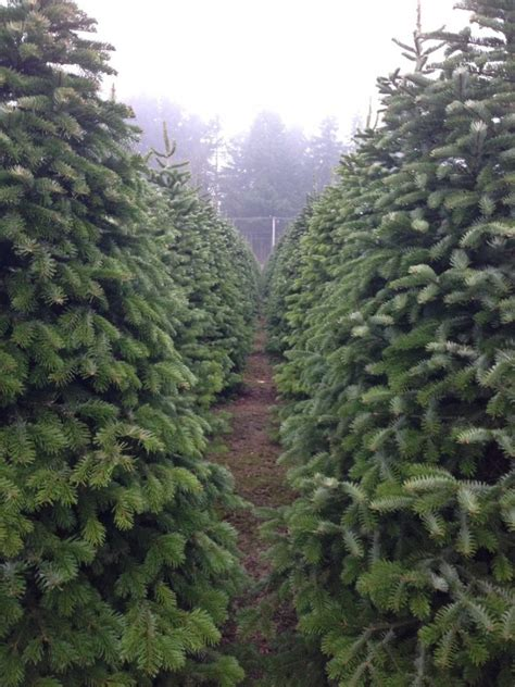 9 christmas u cut tree farms a family tradition around