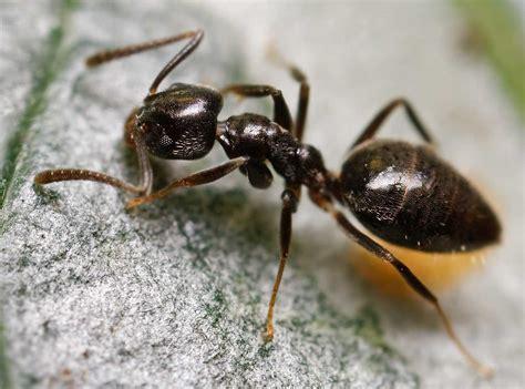 house ants odorous house ants kansas city pest control